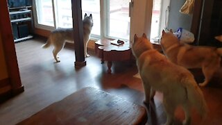 Husky friends excited about the pension trip.