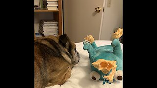 English Bulldog wrestles with his new toy