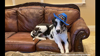 Great Danes have fun with their Happy Birthday hats
