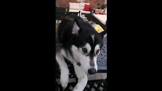 Husky loves her head pat
