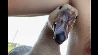 Pesky goose bites guy's nipple