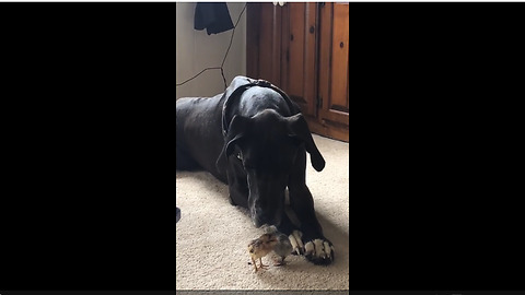 Huge Great Dane gently meets tiny baby chicks