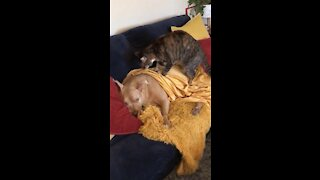 Napping dog lets kitty friend give relaxing massage
