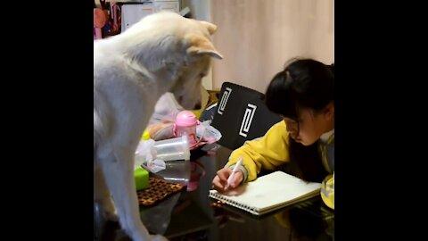 El perrito que vigila que hagas la tarea   Sabías que...