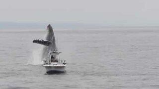 Humpback whale nearly hits fisherman's boat