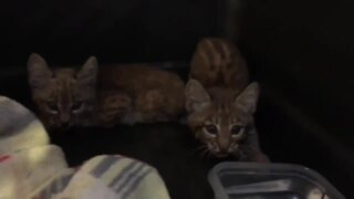 VIDEO: Bobcat kittens spotted at Tucson business