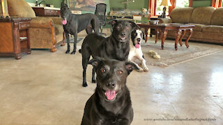 Great Danes smile for group photo with their dog friends