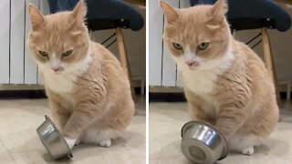 Clever cat plays with food bowl to ask for dinner