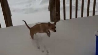 Dog gets cold paws about a walk in the snow