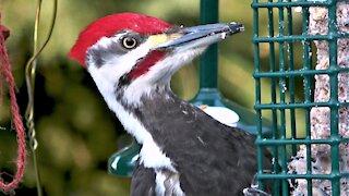Gigantic woodpecker devours suet cake at backyard feeder