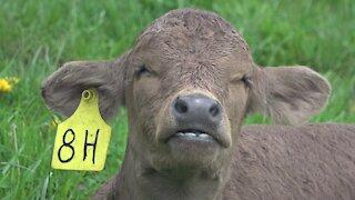 Sleepy newborn calf chews its cud in the sunshine
