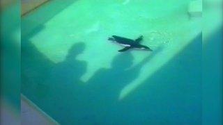 Penguin Follows Hand Shadow