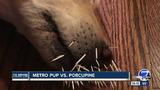 Highlands Ranch woman's dog attacked by porcupine