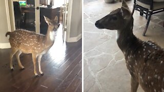 Deer breaks into house, makes mess & refuses to leave