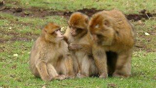 Video Of Monkeys 4k