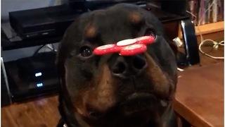 Rottweiler shows off sick fidget spinner skills