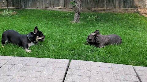 Frenchies running around in the backyard