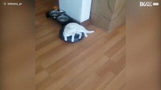 Gattina usa l'aspirapolvere come veicolo