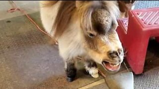 Miniature horse playing around with leaf blower