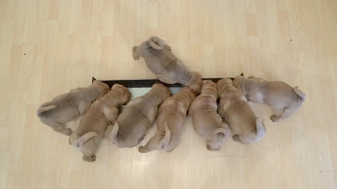 Shar Pei Puppies Drink A Whole Gallon Of Milk In Only Two Minutes