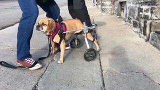 Handikappet hund går for første gang ved bruk av rullestol