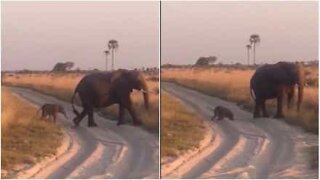 Cucciolo di elefante inciampa teneramente sulla sabbia