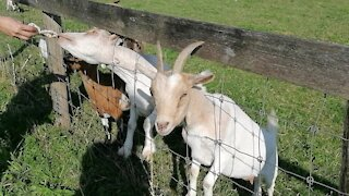 Goats fighting over food