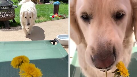 Golden Retriever stops to eat the flowers instead of smell them