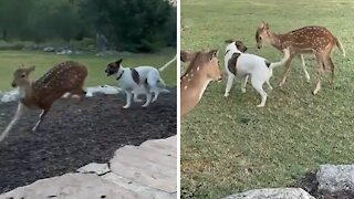 Rescued fawn runs right over to playful doggy