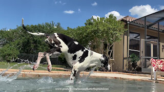 Great Dane interrupts pool time to go on patrol