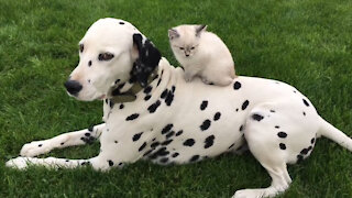 Beautiful Dalmatian hanging out with his sweet kitten.