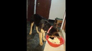 5 month German shepherd puppy