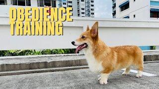 Shinji The Corgi- Obedience Training