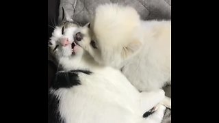 Pomeranian puppy can't stop kissing cat