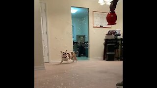 Bulldog puppy gets super excited when it rains down bubbles