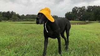 Great Dane Dresses For Florida Tropical Storm Hurricane ETA Weather