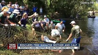 Rescuers free manatee mother and calf