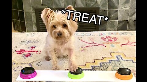 Yorkie vigorously demands treats using talking buttons