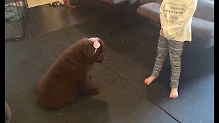Sweet Newfoundland puppy gets dressed up