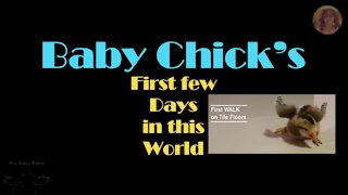 Baby Chick's First Outing on Human Ground