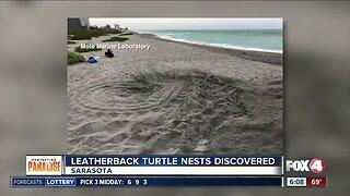 Rare leatherback sea turtle nest found in Sarasota County
