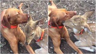 Amizade improvável entre um cão e um veado
