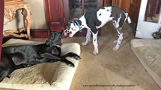 Energetic puppy pesters napping Great Dane