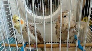 Parrots in battle