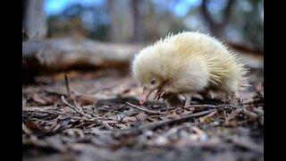 Harvinainen albinonisäkäs kuvattiin videolle Australiassa