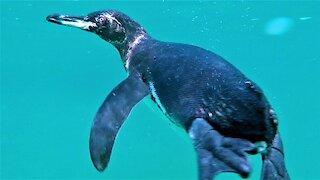 Swimmer meets curious Galapagos penguin close up