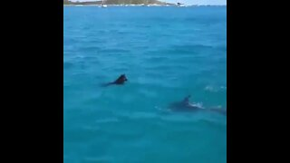 Incredible moment wild dolphin plays with a swimming dog