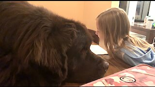 Newfoundland adorably waits for his best friend to finish homework
