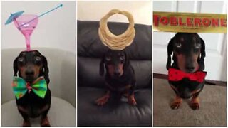 Hund med talent er balansemester