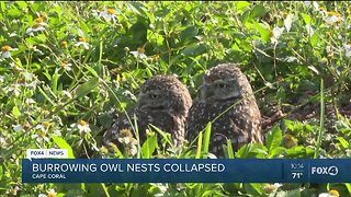 Construction collapses Burrowing Owls' nests, neighbors outraged